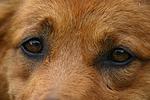 Harzer Fuchs Augen / Harzer Fuchs eyes
