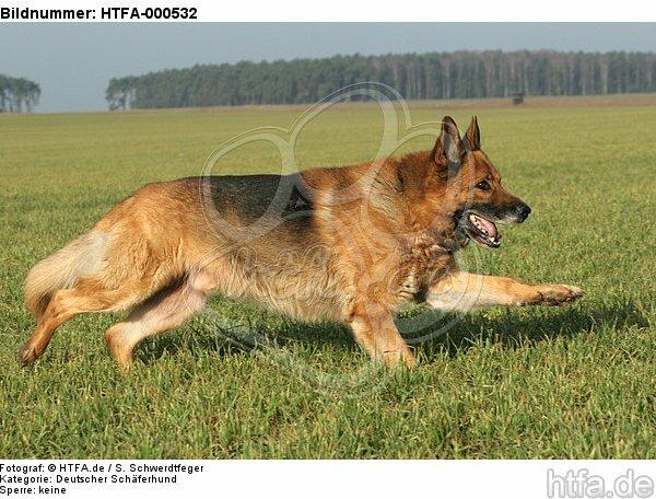 rennender Deutscher Sch�ferhund / running german shepherd / HTFA-000532