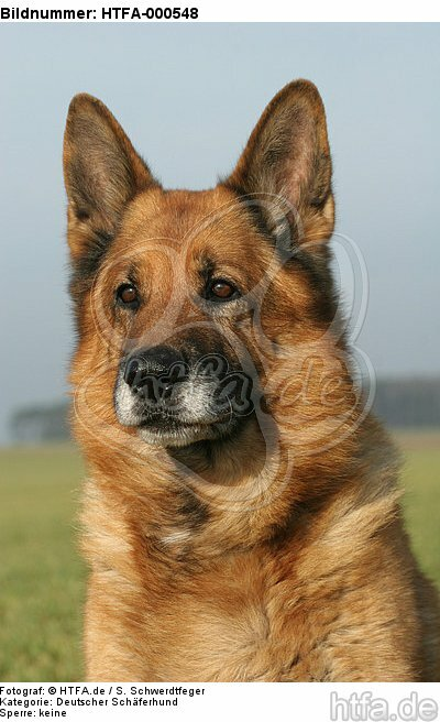 Deutscher Sch�ferhund Portrait / German Shepherd Portrait / HTFA-000548