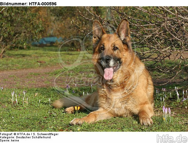liegender Deutscher Sch�ferhund / lying German Shepherd / HTFA-000596
