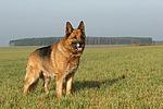 stehender Deutscher Sch�ferhund / standing German Shepherd