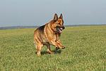rennender Deutscher Sch�ferhund / running German Shepherd