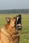 aggressiver Deutscher Sch�ferhund / aggresive German Shepherd