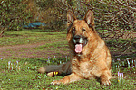 liegender Deutscher Sch�ferhund / lying German Shepherd