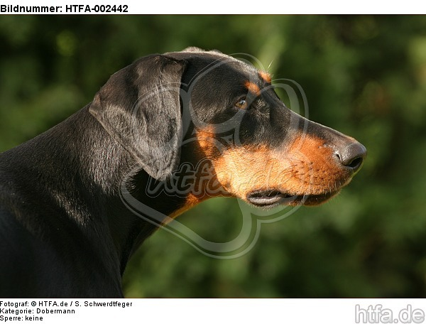 Dobermann / doberman pinscher / HTFA-002442