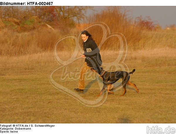 Dobermann / doberman pinscher / HTFA-002467