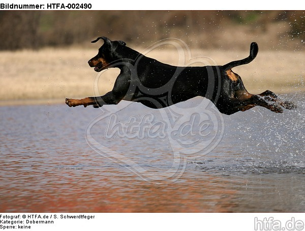 Dobermann / doberman pinscher / HTFA-002490