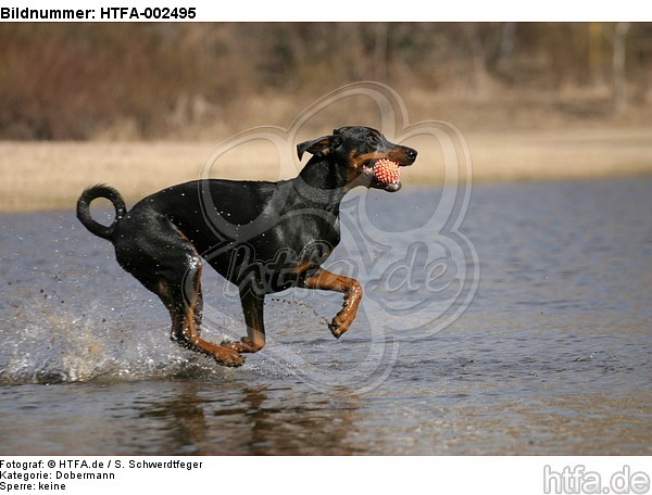 Dobermann / doberman pinscher / HTFA-002495