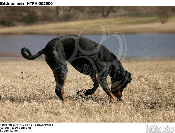 Dobermann / doberman pinscher / HTFA-002500