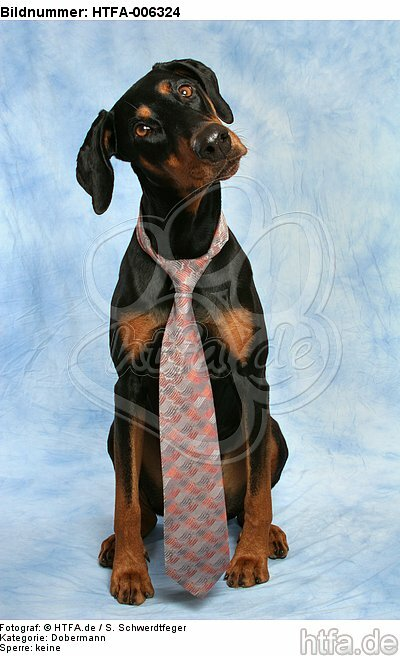 Dobermann / doberman pinscher / HTFA-006324