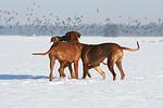 3 Rhodesian Ridgebacks im Schnee / 3 Rhodesian Ridgebacks in snow