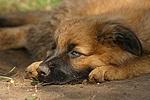 m�der Harzer Fuchs Welpe / tired Harzer Fuchs puppy