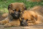 schlafende Harzer Fuchs Welpen / sleeping Harzer Fuchs puppies