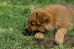 Harzer Fuchs Welpe / Harzer Fuchs puppy