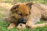 fressender Harzer Fuchs Welpe / eating Harzer Fuchs puppy
