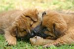 fressende Harzer Fuchs Welpen / eating Harzer Fuchs puppies