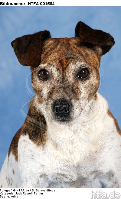 Jack Russell Terrier / HTFA-001564