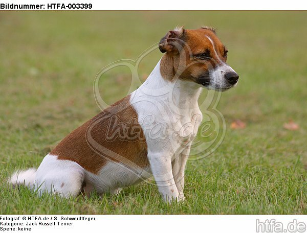 Jack Russell Terrier / HTFA-003399