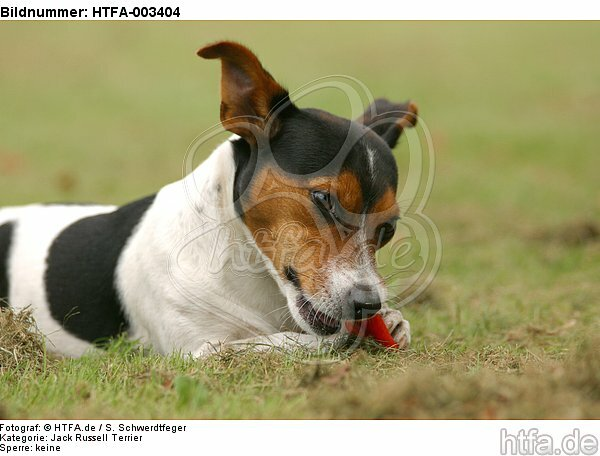 Jack Russell Terrier / HTFA-003404