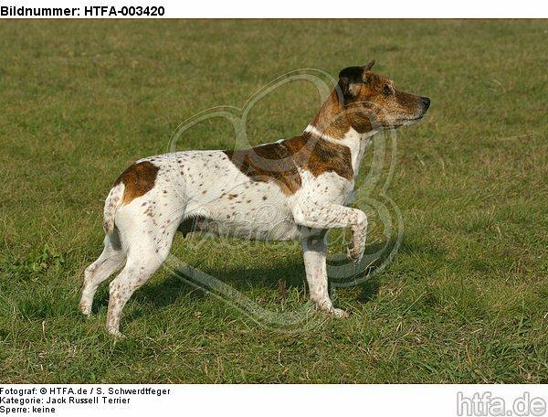 Jack Russell Terrier / HTFA-003420