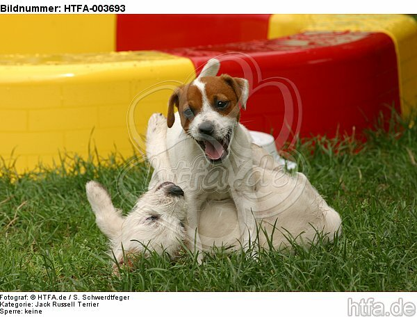 Jack Russell Terrier Welpen / Jack Russell Terrier puppies / HTFA-003693