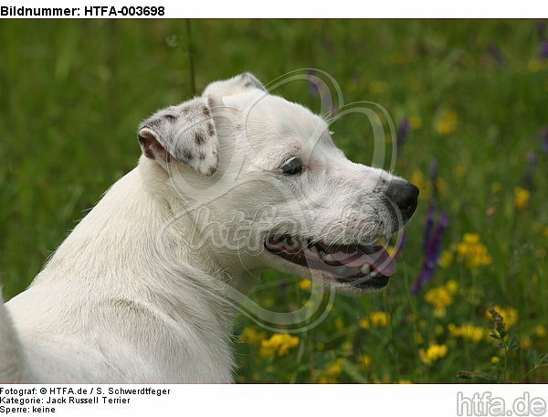 Jack Russell Terrier / HTFA-003698