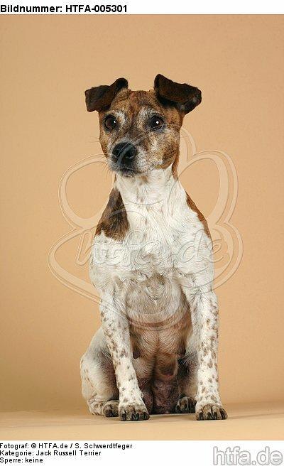 Jack Russell Terrier / HTFA-005301