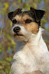 Parson Russell Terrier