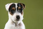 Parson Russell Terrier Welpe Portrait / PRT puppy portrait