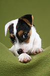 liegender Parson Russell Terrier Welpe / lying PRT puppy