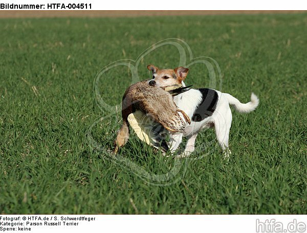 Parson Russell Terrier / HTFA-004511