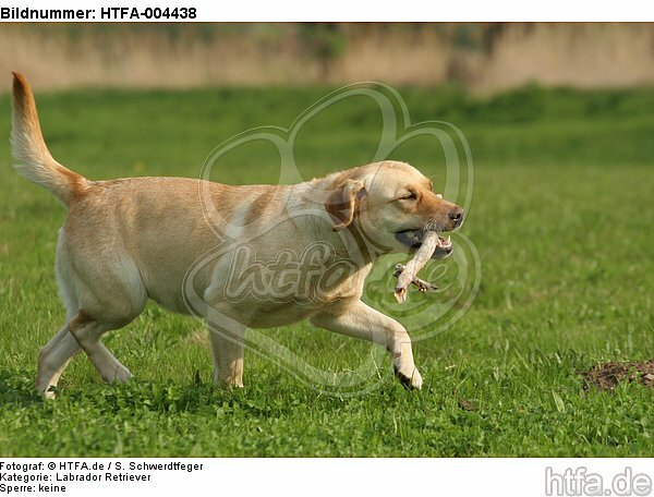 Labrador Retriever / HTFA-004438