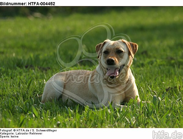 Labrador Retriever / HTFA-004452