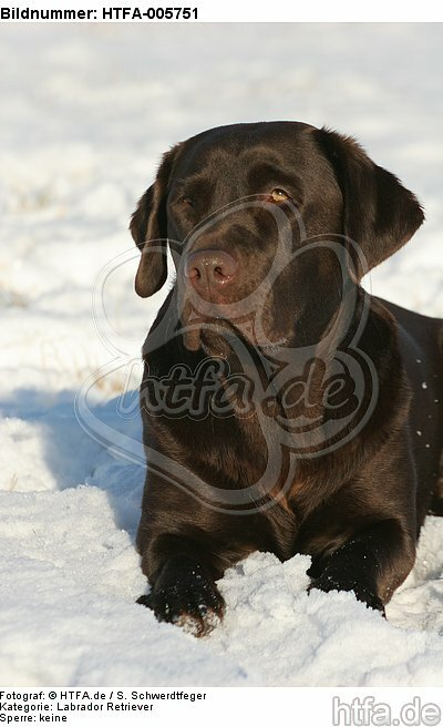 Labrador Retriever / HTFA-005751