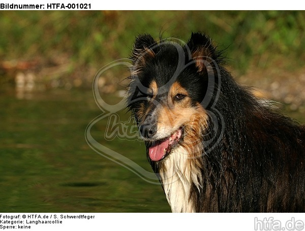 Langhaarcollie Portrait / longhaired collie portrait / HTFA-001021