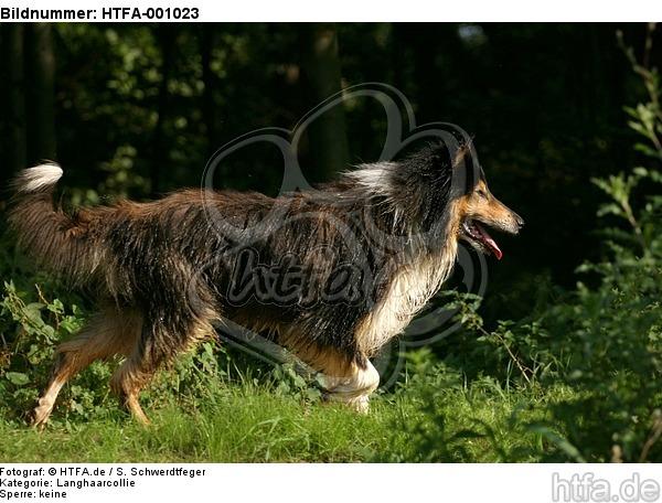 laufender Langhaarcollie / walking longhaired collie / HTFA-001023