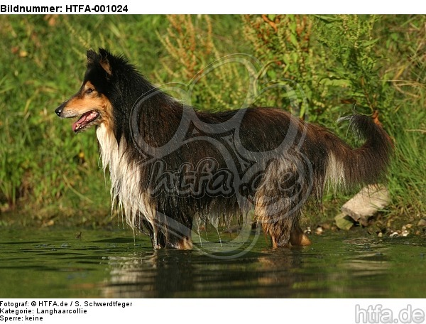 badender Langhaarcollie / bathing longhaired collie / HTFA-001024