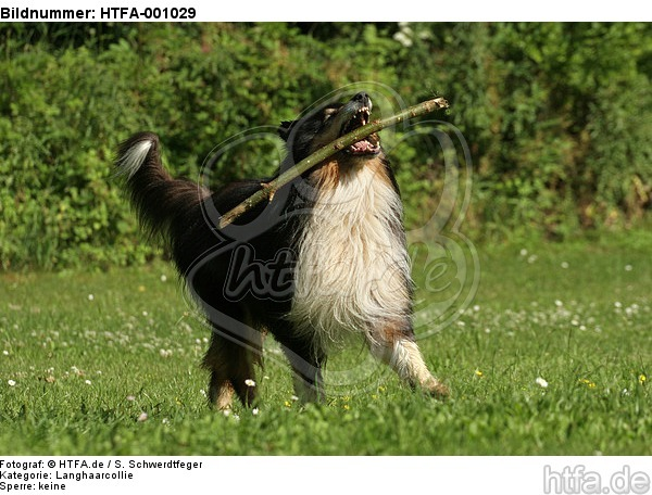 spielender Langhaarcollie / playing longhaired collie / HTFA-001029