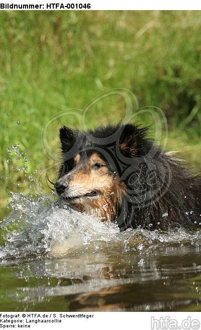 schwimmender Langhaarcollie / swimming longhaired collie / HTFA-001046