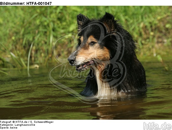 badender Langhaarcollie / bathing longhaired collie / HTFA-001047