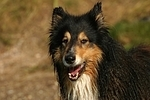 Langhaarcollie Portrait / longhaired collie portrait