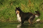 badender Langhaarcollie / bathing longhaired collie