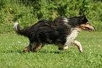 rennender Langhaarcollie / running longhaired collie