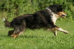 rennender Langhaarcollie / running longhaired collie