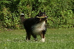 spielender Langhaarcollie / playing longhaired collie