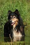 badender Langhaarcollie / bathing longhaired collie