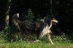 laufender Langhaarcollie / walking longhaired collie