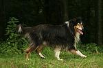 laufender Langhaarcollie / walking longhaired collie