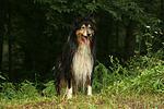 stehender Langhaarcollie / standing longhaired collie
