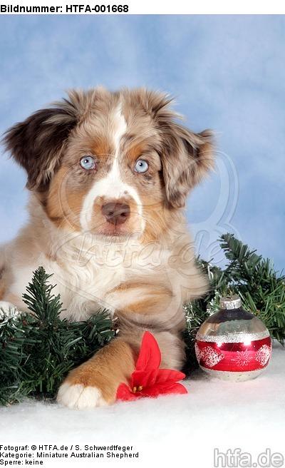 Miniature Australian Shepherd Welpe / miniature australian shepherd puppy / HTFA-001668